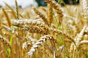 wheat-2526829_1920